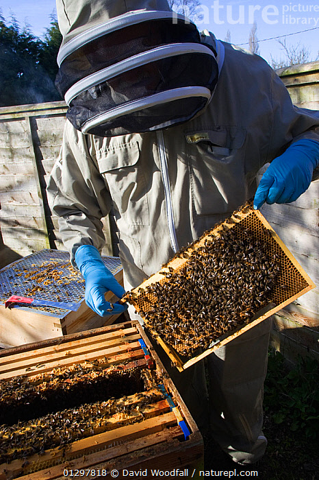 Geoff Critchley of 'The Honey House' demonstrates aspects of the beekeeping. Cilcain, North Wales, UK April 2010  ,  ARTHROPODS,BEEKEEPERS,BEE KEEPING,BEES,BEE SUIT,GLOVES,HONEY COMBS,HYMENOPTERA,INSECTS,INVERTEBRATES,MAN,OUTDOORS,PEOPLE,PROTECTIVE CLOTHING,UK,VEIL,WALES,Europe,United Kingdom ,honeybee,honeybees  ,  David Woodfall