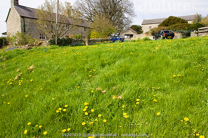 Grassy area in small rural village with natural dandelion colony, ideal habitat for bee population. Wales, UK April 2010  ,  APIS MELLIFERA,BEES,BUILDINGS,CONSERVATION,DANDELION,EUROPE,FLOWERS,HONEY BEE,HOUSES,LANDSCAPES,UK,VILLAGES,United Kingdom ,honeybee,honeybees  ,  David Woodfall
