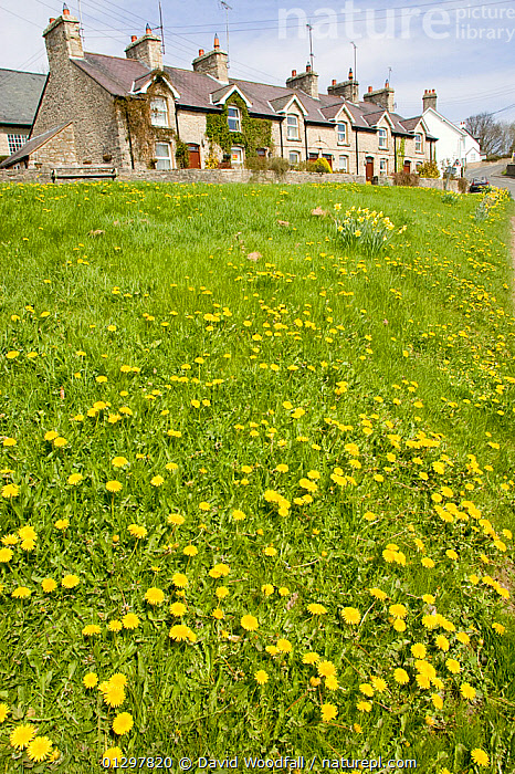 Grassy area in small rural village with natural dandelion colony, ideal habitat for bee population. Wales, UK April 2010  ,  APIS MELLIFERA,BEES,BUILDINGS,CONSERVATION,DANDELION,EUROPE,FLOWERS,HONEY BEE,HOUSES,HYMENOOPTERA,LANDSCAPES,UK,VILLAGES,United Kingdom ,honeybee,honeybees  ,  David Woodfall
