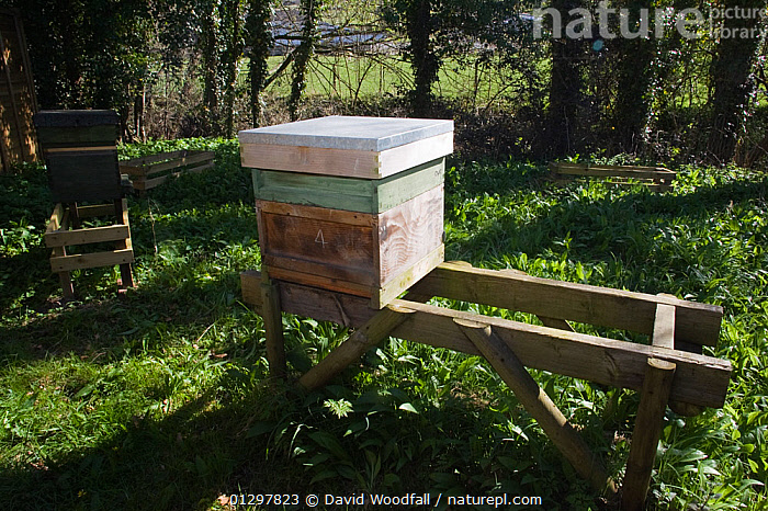 A hive for the European honeybee (Apis mellifera) Wales, UK April 2010  ,  ARTHROPODS,BEEKEEPERS,BEE KEEPING,BEES,HONEY,HYMENOPTERA,INSECTS,INVERTEBRATES,UK,WALES,WOODLANDS,Europe,United Kingdom ,honeybee,honeybees  ,  David Woodfall