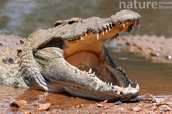 Nile crocodile (Crocodylus niloticus) lying at waters edge, with jaw open, Kruger National Park, South Africa  ,  CROCODILES,CROCODILIANS,MOUTHS,NP,PREDATORY,REPTILES,SOUTH AFRICA,TEETH,VERTEBRATES,WATER,National Park,Crocodylia  ,  Ann & Steve Toon