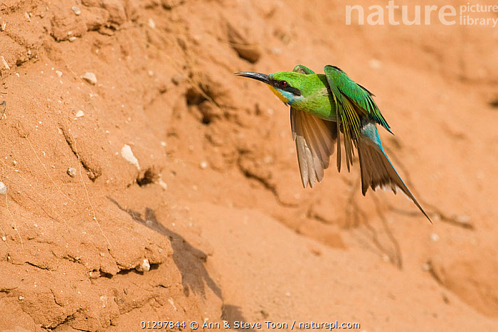 Swallow-tailed bee-eater (Merops hirundineus) in flight, Kgalagadi Transfrontier Park, South Africa  ,  BEE EATERS,BIRDS,FLYING,NP,SOUTH AFRICA,VERTEBRATES,National Park  ,  Ann & Steve Toon