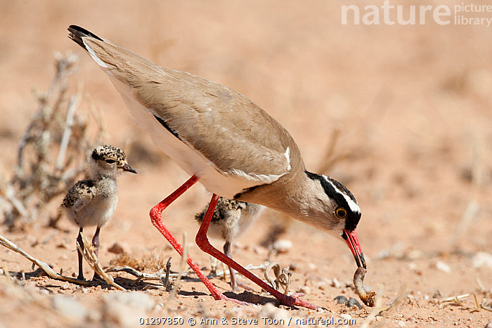 Crowned plover (Vanellus coronatus) foraging with chicks, Kgalagadi Transfrontier Park, South Africa  ,  BIRDS,CHICKS,FAMILIES,FEEDING,FORAGING,NP,PLOVERS,SOUTH AFRICA,VERTEBRATES,WADERS,YOUNG,National Park  ,  Ann & Steve Toon