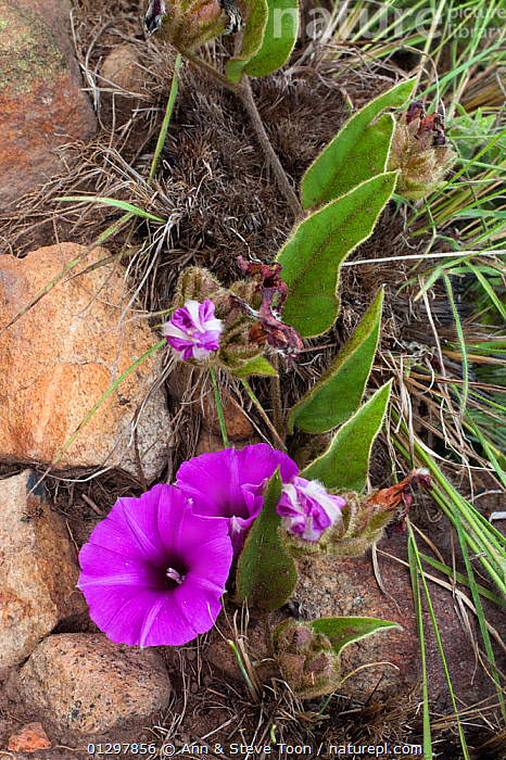 Morning glory (Ipomoea crassipes) in flower, Malolotja Nature Reserve, Swaziland, South Africa  ,  CLIMBERS,CONVOLVULACAEA,DICOTYLEDONS,FLOWERS,GRASSLAND,MAGENTA,PLANTS,PURPLE,RESERVE,SOUTH AFRICA,SUMMER  ,  Ann & Steve Toon
