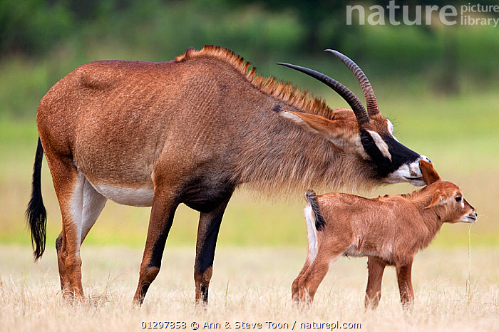 Roan antelope (Hippotragus equinus) with young offspring, Mlilwane nature reserve breeding programme, Swaziland, Southern Africa  ,  ARTIODACTYLA,BABIES,BOVIDS,MAMMALS,MOTHER BABY,RESERVE,ROAN ANTELOPES,SOUTHERN AFRICA,VERTEBRATES,YOUNG  ,  Ann & Steve Toon