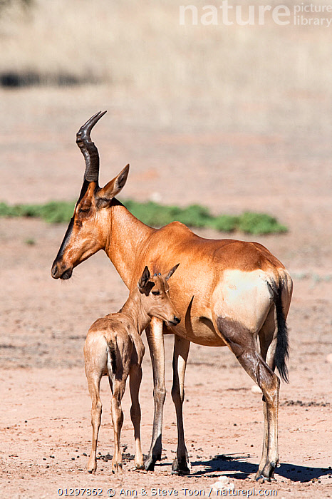 Red hartebeest (Alcelaphus buselaphus) with young, Kgalagadi transfrontier, National Park, Northern Cape, South Africa  ,  ARTIODACTYLA,BABIES,BOVIDS,HARTEBEESTS,JUVENILE,MAMMALS,MOTHER BABY,NP,SOUTH AFRICA,VERTEBRATES,YOUNG,National Park,Antelopes  ,  Ann & Steve Toon