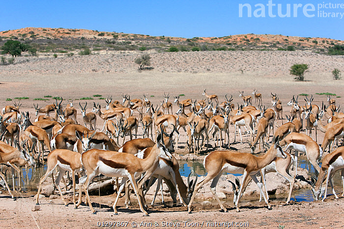 Herd of Springbok (Antidorcas marsupialis) at waterhole, Kgalagadi Transfrontier Park, South Africa  ,  ARTIODACTYLA,BOVIDS,DESERTS,DRINKING,GROUPS,MAMMALS,MANY,NP,SOUTH AFRICA,SPRINGBOKS,VERTEBRATES,WATERHOLE,National Park  ,  Ann & Steve Toon