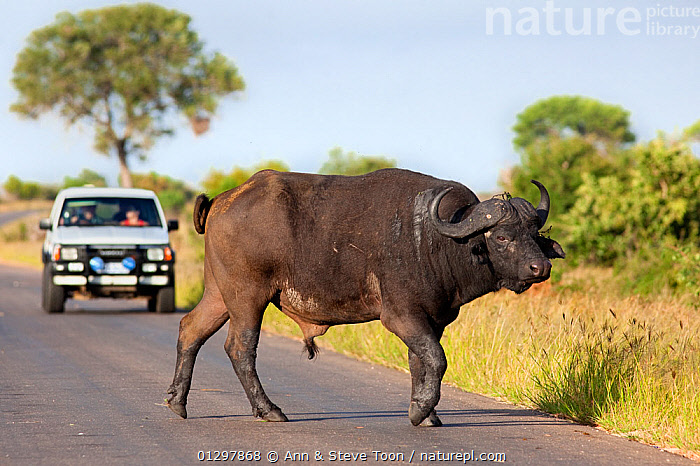 Cape buffalo (Syncerus caffer caffer) standing in middle of raod, being watched by  tourists in a vehicle behind, Kruger national park, South Africa  ,  ARTIODACTYLA,BOVIDS,BUFFALOS,MAMMALS,NP,PEOPLE,ROADS,SOUTH AFRICA,TOURISM,VEHICLES,VERTEBRATES,National Park,Cattle  ,  Ann & Steve Toon