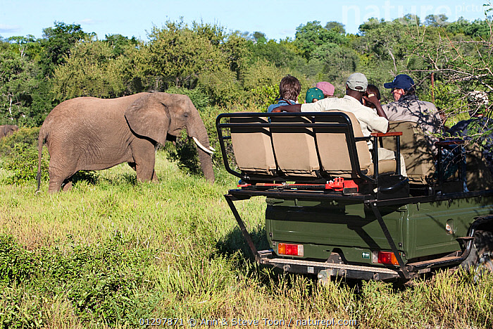 Tourists watching African elephant (Loxodonta africana) from vehicle, Makalali game reserve, South Africa  ,  ELEPHANTS,ENDANGERED,MAMMALS,PEOPLE,PROBOSCIDS,RESERVE,SOUTH AFRICA,TOURISM,VEHICLES,VERTEBRATES,WILDLIFE  ,  Ann & Steve Toon