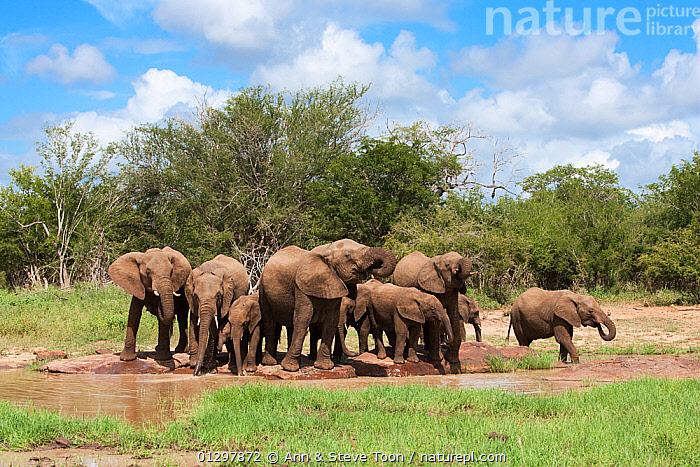 Elephant herd, gathered around waterhole, Kruger National Park, South Africa  ,  DRINKING,ELEPHANTS,ENDANGERED,MAMMALS,PROBOSCIDS,RESERVE,SOUTH AFRICA,VERTEBRATES,WATER,WATERHOLE  ,  Ann & Steve Toon