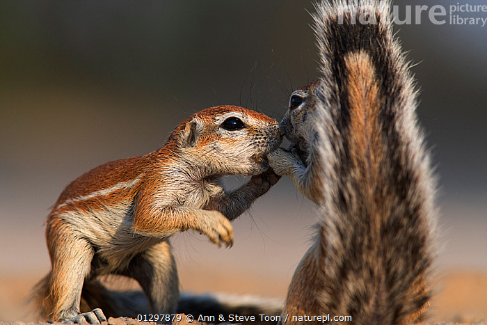 Two Cape Ground squirrels (Xerus inauris) greeting, Kgalagadi Transfrontier Park, South Africa Non-ex.  ,  affection,AFRICA,animal marking,animal tail,animals in the wild,BEHAVIOUR,CATALOGUE2,close up,CLOSE UPS,CUTE,face to face,FLUFFY,FRIENDSHIP,full length,greeting,GROUND SQUIRRELS,Kgalagadi Transfrontier Park,KISSING,MAMMALS,nature,Nobody,outdoors,PAWS,RESERVE,rodents,SOCIAL BEHAVIOUR,South africa,SOUTH AFRICA,TAILS,two animals,VERTEBRATES,WILDLIFE,YOUNG,Concepts  ,  Ann & Steve Toon
