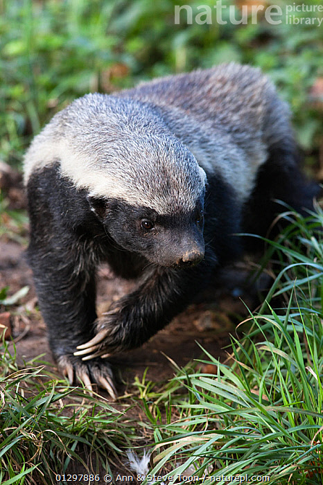 Honey Badger / Ratel (Mellivora capensis) captive, native to Africa  ,  CARNIVORES,HONEY BADGERS,MAMMALS,MUSTELIDS,RESERVE,VERTEBRATES  ,  Ann & Steve Toon
