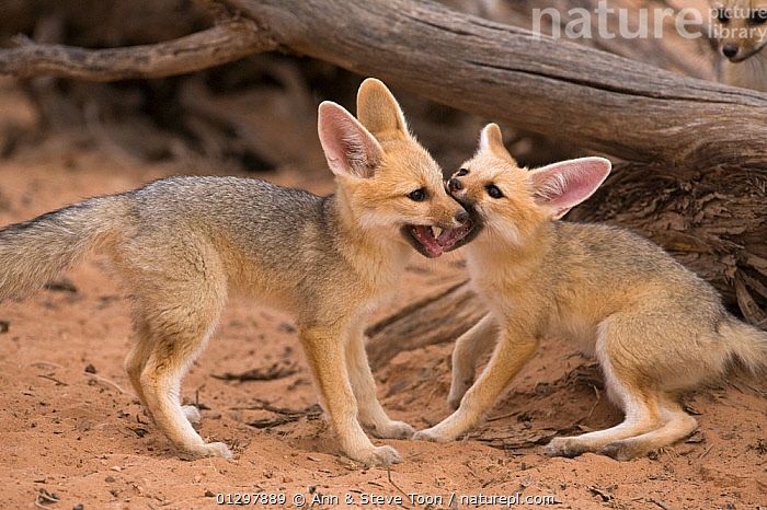 Cape fox cubs (Vulpes chama) play-fighting, Kgalagadi Transfrontier Park, Northern Cape, South Africa  ,  BABIES,CANIDS,CARNIVORES,FIGHTING,FOXES,JUVENILE,MAMMALS,NP,PLAY,RESERVE,SOCIAL BEHAVIOUR,SOUTH AFRICA,VERTEBRATES,Aggression,National Park,Communication,Dogs  ,  Ann & Steve Toon