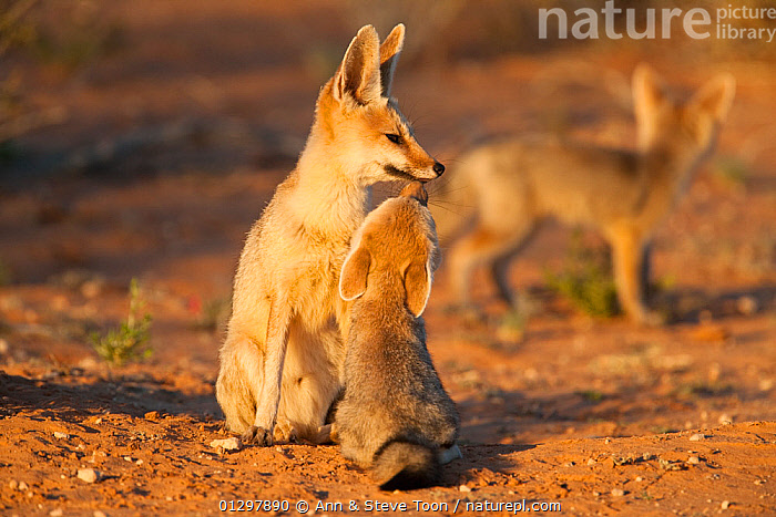Cape fox (Vulpes chama) sitting with cub, Kgalagadi Transfrontier Park, Northern Cape, South Africa  ,  BABIES,CANIDS,CARNIVORES,FAMILIES,FOXES,JUVENILE,MAMMALS,MOTHER,MOTHER BABY,NP,RESERVE,SOUTH AFRICA,VERTEBRATES,YOUNG,National Park,Dogs  ,  Ann & Steve Toon