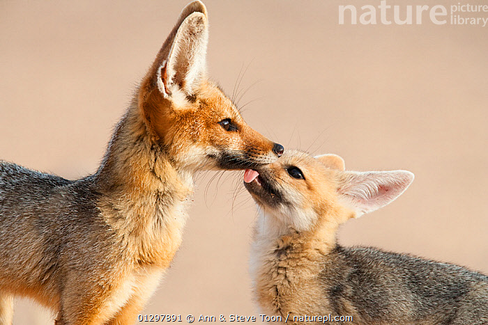 Cape fox (Vulpes chama) cub licking its mothers face, Kgalagadi Transfrontier Park, Northern Cape, South Africa  ,  BABIES,CANIDS,CARNIVORES,FOXES,JUVENILE,LICKING,MAMMALS,MOTHER BABY,NP,RESERVE,SOCIAL BEHAVIOUR,SOUTH AFRICA,VERTEBRATES,YOUNG,National Park,Dogs  ,  Ann & Steve Toon