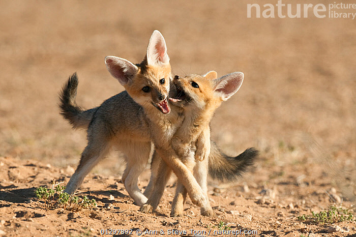 Cape fox cubs (Vulpes chama) play-fighting, Kgalagadi Transfrontier Park, Northern Cape, South Africa  ,  BABIES,CANIDS,CARNIVORES,FOXES,JUVENILE,MAMMALS,NP,PLAY,PLAYFIGHT,RESERVE,SOUTH AFRICA,VERTEBRATES,YOUNG,National Park,Communication,Dogs  ,  Ann & Steve Toon