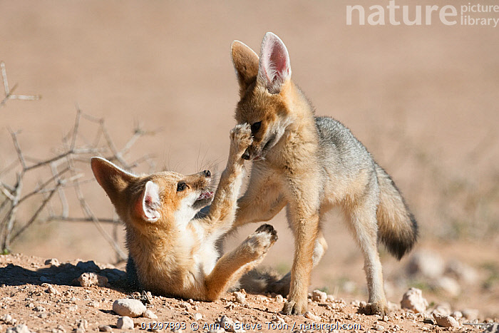 Cape fox cubs (Vulpes chama) play-fighting, Kgalagadi Transfrontier Park, Northern Cape, South Africa  ,  BABIES,CANIDS,CARNIVORES,FAMILIES,FIGHTING,FOXES,JUVENILE,MAMMALS,NP,PLAY,RESERVE,SOUTH AFRICA,VERTEBRATES,YOUNG,Aggression,National Park,Communication,Dogs  ,  Ann & Steve Toon