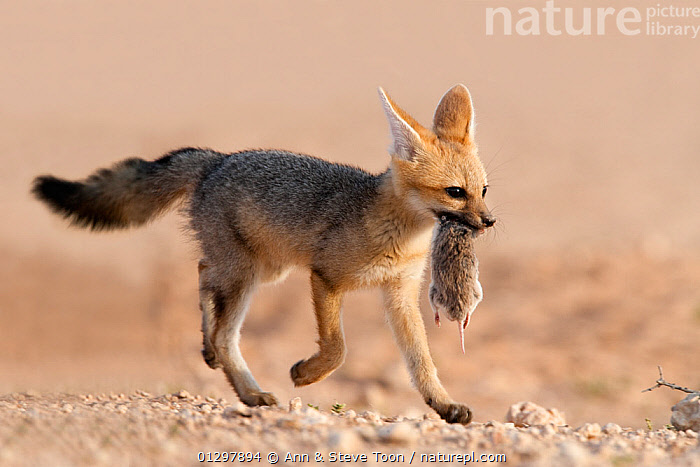 Cape fox cub (Vulpes chama) carrying small rodent prey in mouth, Kgalagadi Transfrontier Park, Northern Cape, South Africa  ,  BABIES,CANIDS,CARNIVORES,CARRYING,FOOD,FOXES,JUVENILE,MAMMALS,NP,RESERVE,SOUTH AFRICA,VERTEBRATES,YOUNG,National Park,Dogs  ,  Ann & Steve Toon