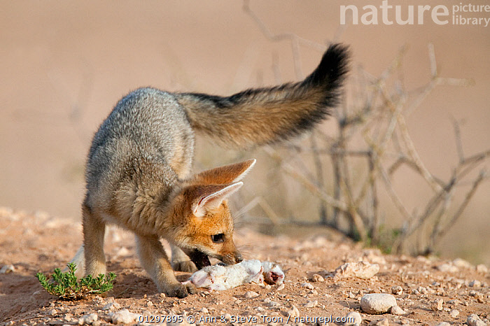 Cape fox cub (Vulpes chama) with dead small mammal prey, Kgalagadi Transfrontier Park, Northern Cape, South Africa  ,  BABIES,CANIDS,CARNIVORES,FEEDING,FOOD,FOXES,JUVENILE,MAMMALS,RESERVE,VERTEBRATES,YOUNG,Dogs  ,  Ann & Steve Toon