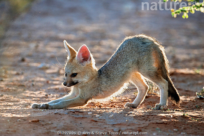Cape fox cub (Vulpes chama) stretching,  Kgalagadi Transfrontier Park, Northern Cape, South Africa  ,  BABIES,CANIDS,CARNIVORES,FAMILIES,FOXES,JUVENILE,MAMMALS,NP,RESERVE,SOUTH AFRICA,VERTEBRATES,YOUNG,National Park,Dogs  ,  Ann & Steve Toon