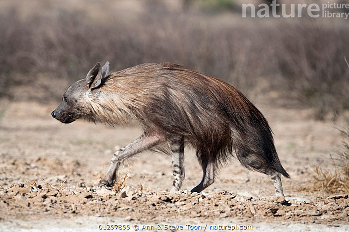 Brown hyena (Hyaena brunnea) walking, Kgalagadi Transfrontier National Park, Northern Cape, South Africa  ,  CARNIVORES,HYAENAS,MAMMALS,NP,PROFILE,RESERVE,SOUTH AFRICA,VERTEBRATES,National Park  ,  Ann & Steve Toon