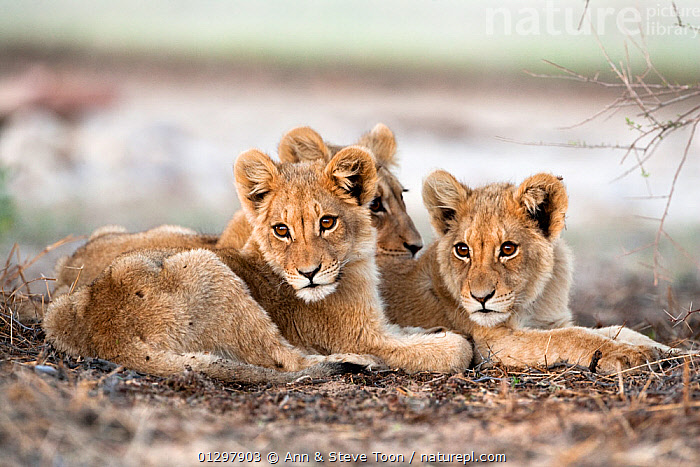 African Lion cubs (Panthera leo) lying together, Kgalagadi Transfrontier Park, Northern Cape, South Africa  ,  BABIES,BIG CATS,CARNIVORES,CUTE,JUVENILE,LIONS,MAMMALS,NP,PORTRAITS,RESERVE,SIBLINGS,SOUTH AFRICA,VERTEBRATES,National Park  ,  Ann & Steve Toon