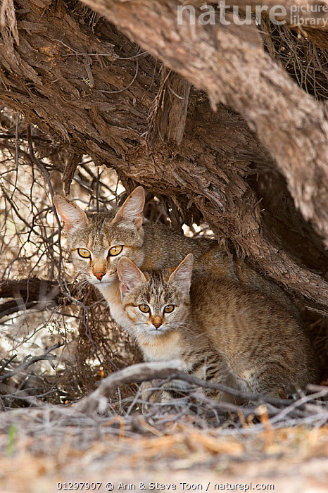 African wildcat, Felis lybica, with kitten, Kgalagadi Transfrontier Park, South Africa  ,  IMMATURE,KITTEN,MOTHER,SOUTH AFRICA,YOUNG  ,  Ann & Steve Toon