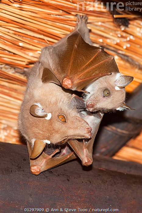 Wahlberg's epaulleted fruit bat (Epomophorus wahlbergi) with young, roosting, Kruger National Park, South Africa  ,  INDOORS,JUVENILE,MAMMALS,MOTHER,MOTHER BABY,NP,PTEROPODIDAE,ROOF,SOUTH AFRICA,VERTEBRATES,National Park  ,  Ann & Steve Toon