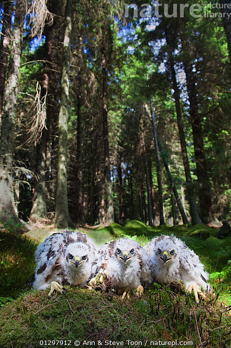 Three Goshawk chicks (Accipiter gentilis) sitting together, Kielder Forest, Northumberland, UK  ,  BIRDS,BIRDS OF PREY,CHICKS,ENGLAND,FORESTS,HAWKS,TREES,VERTEBRATES,YOUNG,Europe,PLANTS,United Kingdom  ,  Ann & Steve Toon
