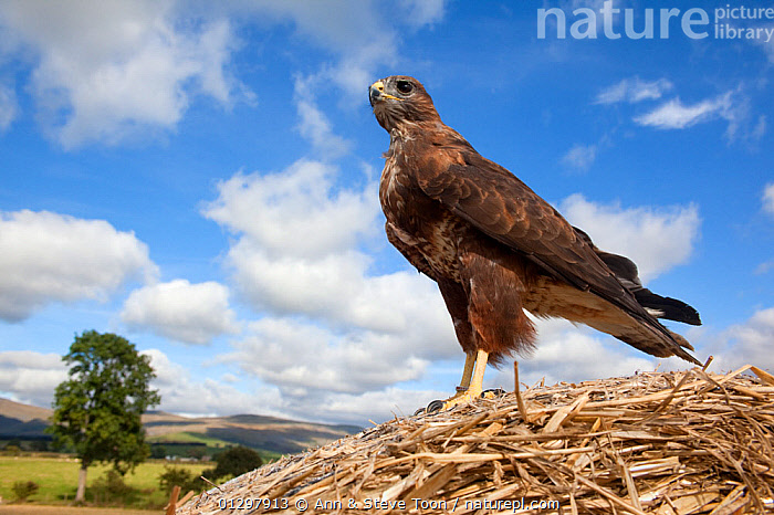 Buzzard (Buteo buteo) standing on straw, captive, UK  ,  BIRDS,BIRDS OF PREY,HAWKS,STANDING,VERTEBRATES,Europe,United Kingdom  ,  Ann & Steve Toon