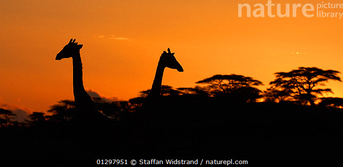 Two Masai Giraffes (Giraffa camelopardalis tippelskirchii) heads silhouetted against sky, above tree line at dusk, Serengeti NP, Tanzania, East Africa, January  ,  animal head,ARTIODACTYLA,catalogue3,communication problem,direction,DUSK,East Africa,EAST AFRICA,GIRAFFES,GIRAFFIDS,GROUPS,HEADS,ignoring,MAMMALS,national park,Nobody,NP,opposite,outdoors,panoramic image,relationship difficulties,romance,serengeti,Silhouette,SKY,SUNSET,tanzania,TREES,treetop,two animals,VERTEBRATES,WILDLIFE,PLANTS  ,  Staffan Widstrand