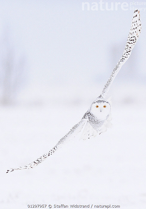 Snowy Owl (Bubo scandiaca) in flight over snow covered landscape, Ottawa, Ontario, Canada, December  ,  animal marking,animal portrait,animals in the wild,BIRDS,BIRDS OF PREY,camouflage,CANADA,catalogue3,close up,CLOSE UPS,curiosity,ease,ELEGANCE,EYES,flight,FLYING,front view,grace,looking at camera,mid air,Nobody,NORTH AMERICA,on the move,one animal,ontario,Ottawa,outdoors,OWLS,PORTRAITS,purity,Silence,SNOW,stealth,VERTEBRATES,VERTICAL,WHITE,WILDLIFE,wingspan,WINTER,Raptor ,camoflage,camoflague,CAMOUFLAGE  ,  Staffan Widstrand