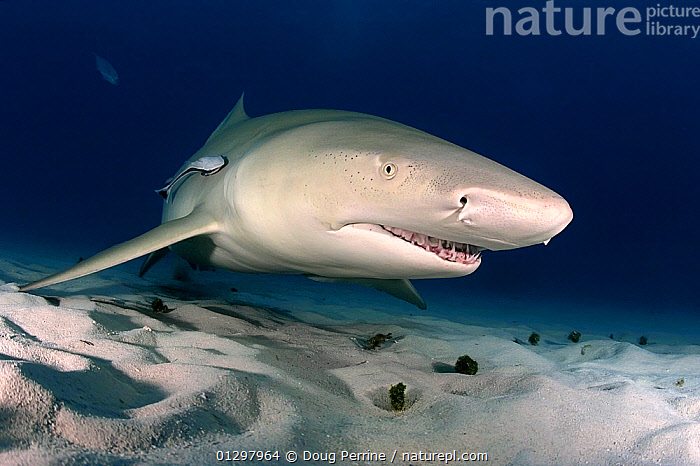 Lemon shark (Negaprion brevirostris) Little Bahama Bank, Bahamas, Western Atlantic Ocean  ,  ATLANTIC,CARIBBEAN,CHONDRICHTHYES,FISH,MARINE,PORTRAITS,SHARKS,TROPICAL,UNDERWATER,VERTEBRATES,West Indies  ,  Doug Perrine