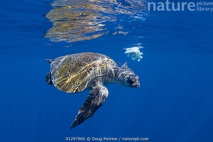 Olive ridley sea turtle (Lepidochelys olivacea) accompanied by small Pilot fish (Naucrates ductor) circling around the remains of Jumbo squid or Humboldt squid, off Baja California, Mexico  ,  BLUE,CHELONIA,ENDANGERED,FEEDING,FISH,MARINE,MEXICO,PACIFIC,REPTILES,SCAVENGING,SEA TURTLES,SWIMMING,TROPICAL,TURTLES,UNDERWATER,CENTRAL-AMERICA  ,  Doug Perrine