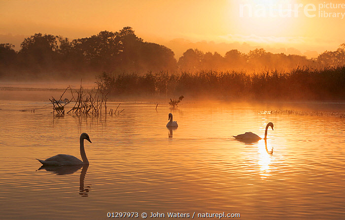 Adult non-breeding Mute Swans (Cygnus olor) at sunrise over freshwater lake (once an old site for commercial peat extraction) near Westhay, Somerset Levels, part of the Avalon Marshes system of nature reserves, England, UK July 2009  ,  ATMOSPHERIC,BIRDS,COUNTRYSIDE,ENGLAND,REFLECTIONS,SILHOUETTES,SUMMER,SWANS,UK,VERTEBRATES,WATERFOWL,Europe,United Kingdom,Wildfowl  ,  John Waters