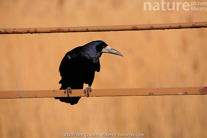 Rook  (Corvus frugilegus) perched on fence. Looking for scraps left by people feeding ducks. Chew Valley Lake, Somerset, UK, England, April.  ,  BIRDS,CORVIDS,COUNTRYSIDE,CROWS,ENGLAND,FENCING ,PORTRAITS,UK,VERTEBRATES,Europe,United Kingdom  ,  John Waters