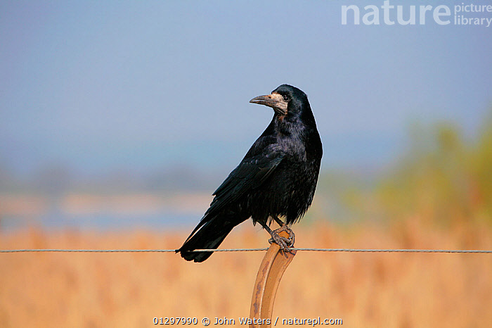 Rook (Corvus frugilegus) perched on fence. Looking for scraps left by people feeding ducks. Chew Valley Lake, Somerset, UK, England, April.  ,  BIRDS,CORVIDS,COUNTRYSIDE,CROWS,ENGLAND,FENCING ,LAKES,PORTRAITS,UK,VERTEBRATES,Europe,United Kingdom  ,  John Waters