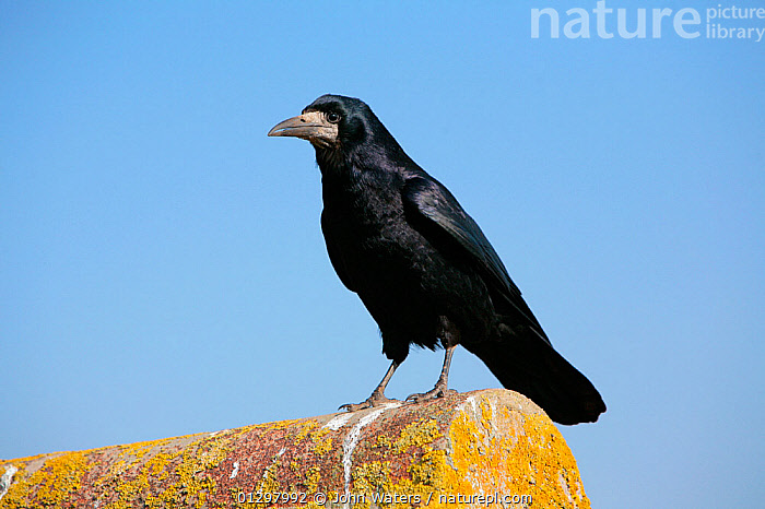 Rook (Corvus frugilegus) portrait standing on lichen covered roof, Chew Valley Lake, Somerset, UK, England, April.  ,  BIRDS,BUILDINGS,CORVIDS,COUNTRYSIDE,CROWS,ENGLAND,LICHENS,PORTRAITS,UK,URBAN,VERTEBRATES,Europe,Plants,United Kingdom  ,  John Waters