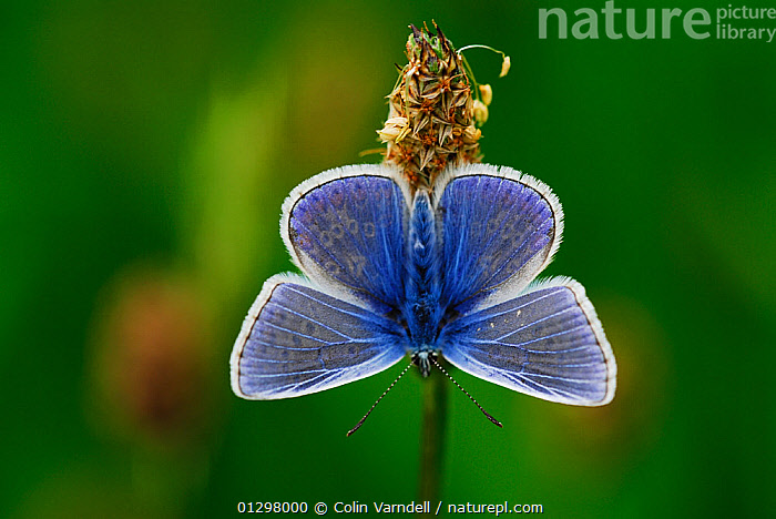 Common blue butterfly (Polyommatus icarus) at rest. Dorset, UK, May  ,  ARTHROPODS,BLUE,BUTTERFLIES,EUROPE,INSECTS,INVERTEBRATES,LEPIDOPTERA,UK,United Kingdom  ,  Colin Varndell