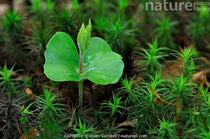 Seedling European beech tree (Fagus sylvaticus) sprouting amongst star moss, Dorset, UK, May  ,  DICOTYLEDONS,EUROPE,FAGACEAE,GROWTH,MOSS,PLANTS,SEED LEAVES,SEEDLINGS,TREES,UK,Concepts,United Kingdom  ,  Colin Varndell