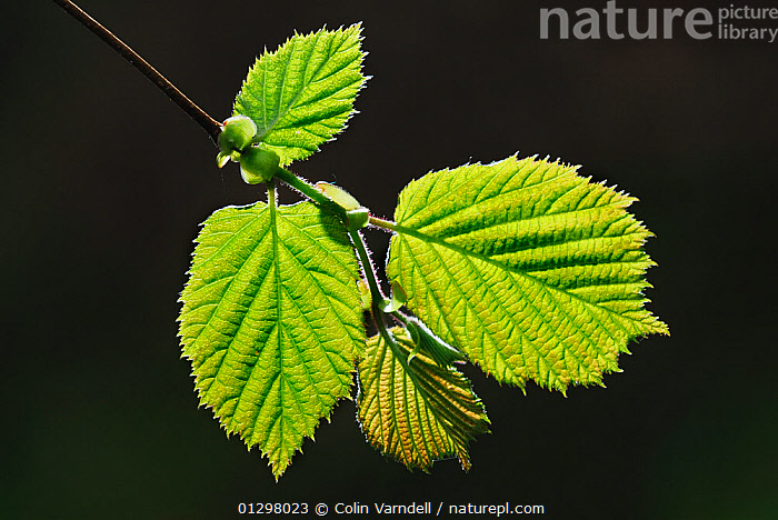 Freshly opened Hazel (Corylus avellana) foliage in spring, Backlit with morning sunlight, Dorset, UK, May  ,  BACKLIT,BETULACEAE,DICOTYLEDONS,EDIBLE,EUROPE,LEAVES,PLANTS,SPRING,UK,United Kingdom,,Beauty in nature,,,beauty in nature,  ,  Colin Varndell