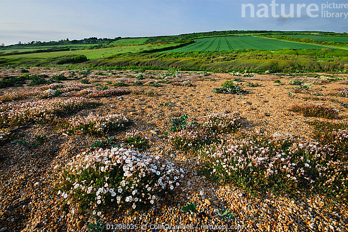 Sea campion (Silene maritima) flowering on shingle of Cogden beach, Dorset, UK, May 2009  ,  COASTS,EUROPE,FLOWERS,HABITAT,LANDSCAPES,SHINGLE,UK,ENGLAND,United Kingdom,,Dorset and East Devon Coast, UNESCO World Heritage Site,  ,  Colin Varndell