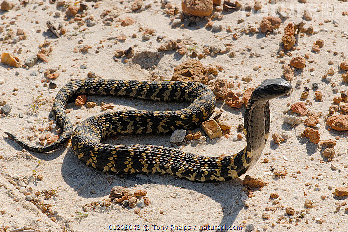 Ringhals Cobra (Hemachatus hemachatus) with hood spread in defensive posture, Grabou, Western Cape, South Africa  ,  BEHAVIOUR,COBRAS,DEFENSIVE,REPTILES,SNAKES,SOUTH AFRICA,SOUTHERN AFRICA,VENOMOUS,VERTEBRATES  ,  Tony Phelps
