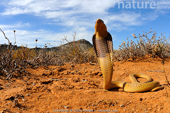 Cape Cobra (Naja nivea) juvenile with hood raised in defensive posture, Little Karoo, South Africa  ,  BEHAVIOUR,COBRAS,DEFENSIVE,JUVENILE,LOW ANGLE,REPTILES,SNAKES,SOUTH AFRICA,SOUTHERN AFRICA,VERTEBRATES  ,  Tony Phelps