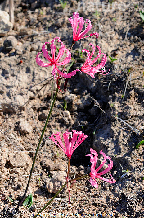 Berg Lily (Nerine humilis) in flower, DeHoop NR, Western Cape, South Africa  ,  AMARYLLIDACEAE,CLOSE UPS,FLOWERS,MONOCOTYLEDONS,PINK,PLANTS,SOUTH AFRICA,SOUTHERN AFRICA  ,  Tony Phelps