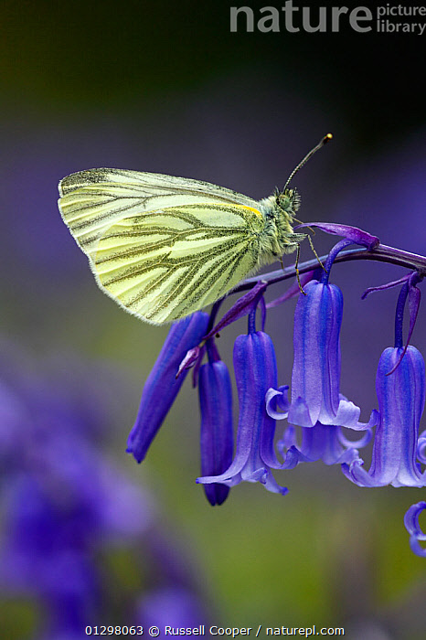 Green Veined White Butterfly (Pieris napi) resting on the flowering stem of a native English Bluebell  (Endymion nonscriptus) Banstead Woods. Site of Special Scientific Interest. (SSSI) North Downs Surrey, England, UK.  ,  ARTHROPODS,BLUE,BUTTERFLIES,ENDYMION NONSCRIPTUS ,ENGLAND,FLOWERS,INSECTS,INVERTEBRATES,LEPIDOPTERA,SPRING,UK,VERTICAL,WOODLANDS,Europe,United Kingdom  ,  Russell Cooper