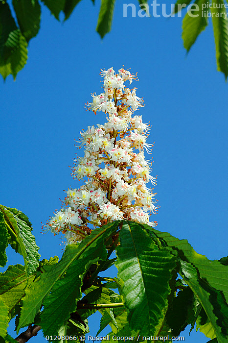 Candelabra of Horse Chestnut flowers (Aesculus hippocastanum) South London, England, UK  ,  CLOSE UPS,DICOTYLEDONS,ENGLAND,FLOWERS,HIPPOCASTANACEAE,PLANTS,UK,VERTICAL,Europe,United Kingdom,Equines ,HORSES,PERISSODACTYLA,VERTEBRATES,MAMMALS  ,  Russell Cooper