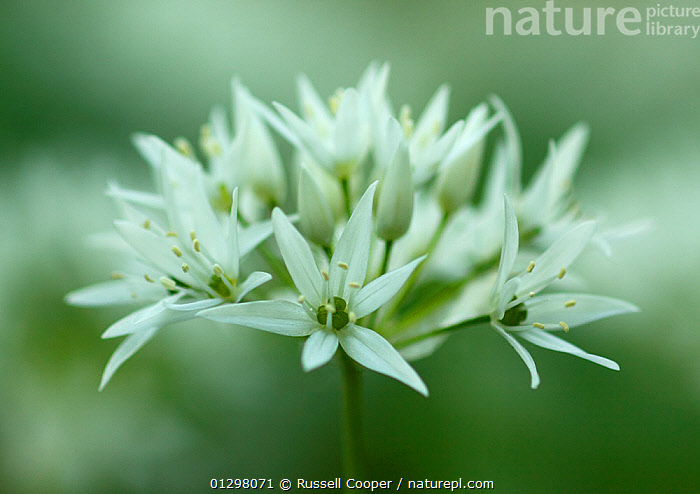 Ramsons / Wild Garlic (Allium ursinum) close-up of flower spike,  Banstead Woods Site of Special Scientific Interest (SSSI) North Downs, Surrey, England, UK  ,  CLOSE UPS,EDIBLE,ENGLAND,FLOWERS,LILIACEAE,MONOCOTYLEDONS,PLANTS,SCENTED,SPRING,SSSI,UK,WHITE,WOODLANDS,Europe,United Kingdom  ,  Russell Cooper