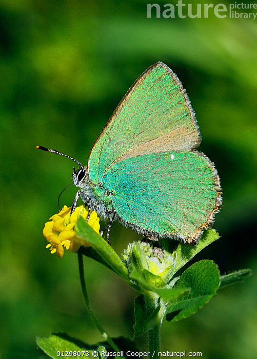 Green Hairstreak Butterfly (Callophrys rubi) at rest  on Black Medick (Medicago lupulina) Surrey, England, UK  ,  ARTHROPODS,BUTTERFLIES,COLOURFUL,ENGLAND,FLOWERS,INSECTS,INVERTEBRATES,IRRIDESCENCE,LEPIDOPTERA,UK,VERTICAL,Europe,United Kingdom  ,  Russell Cooper
