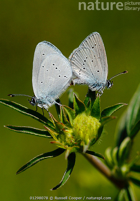 Mating pair of Small Blue Butterflies (Cupido minimus) resting on the flower head of the caterpillar food plant Kidney Vetch (Anthyllis vulneraria) Surrey, England, UK  ,  ANTHYLLIS VULNERARIA,ARTHROPODS,BEHAVIOUR,BUTTERFLIES,COPULATION,ENGLAND,INSECTS,INVERTEBRATES,LEPIDOPTERA,LITTLE BLUE,MALE FEMALE PAIR,UK,VERTICAL,Reproduction,Europe,United Kingdom  ,  Russell Cooper